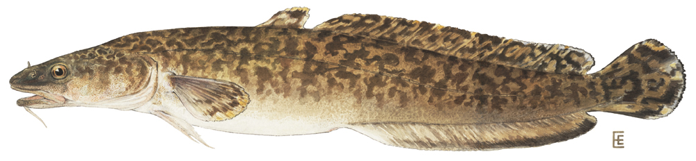 Case of the Mystery Burbot