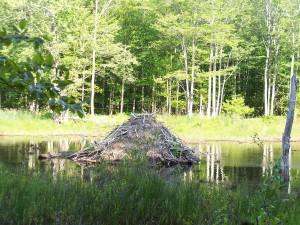 beaver-82842_1280